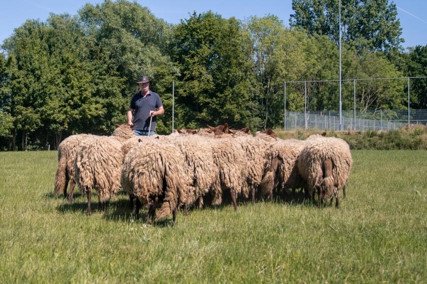 Ward De Cooman met zijn schapen