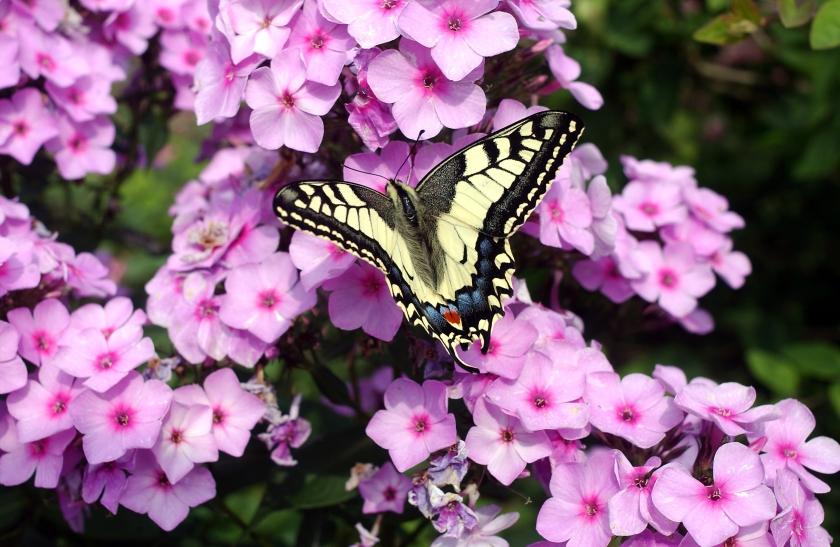 Een koninginnepage op paarse bloemen.