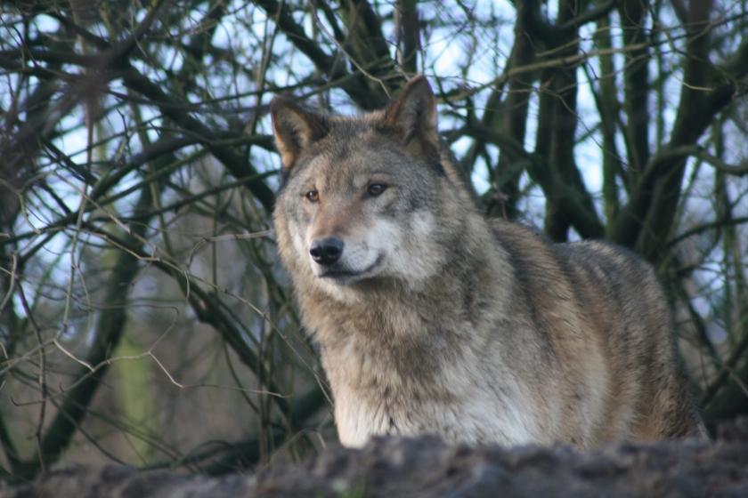 Een wolf (Foto: INBO)
